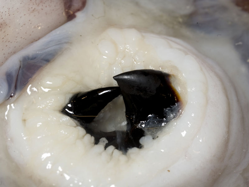 Beak of a colossal squid