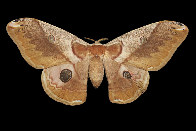 Chinese oak tussar moth