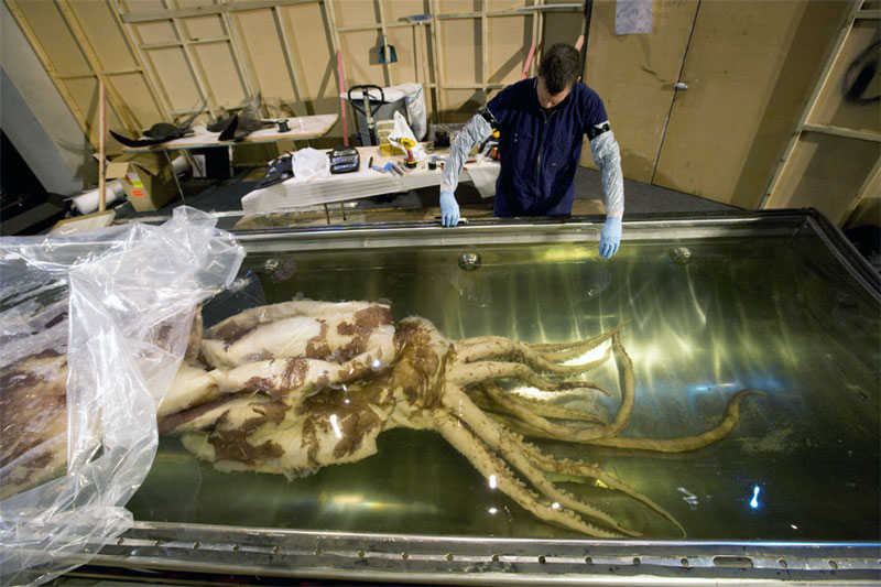 The colossal squid going into its tank