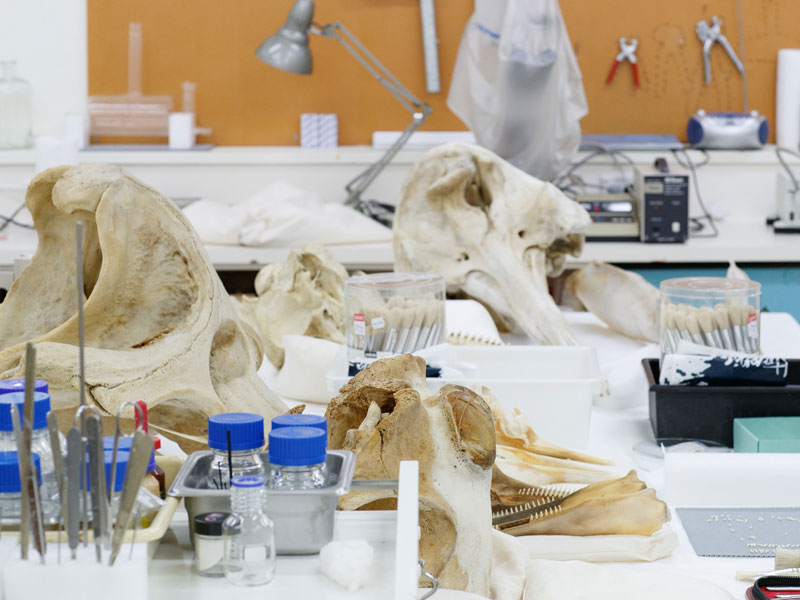 Specimens such as whale skulls laid out on a table ready for conservation treatment