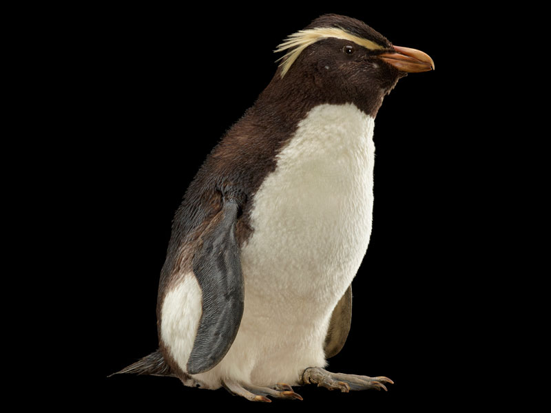 A penguin with yellow feathers above its eyes and a red beak