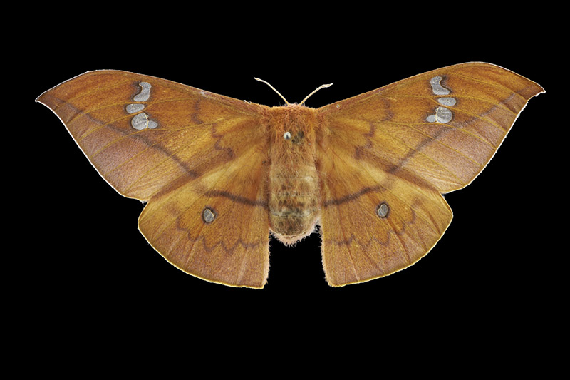 Cricula silk moth