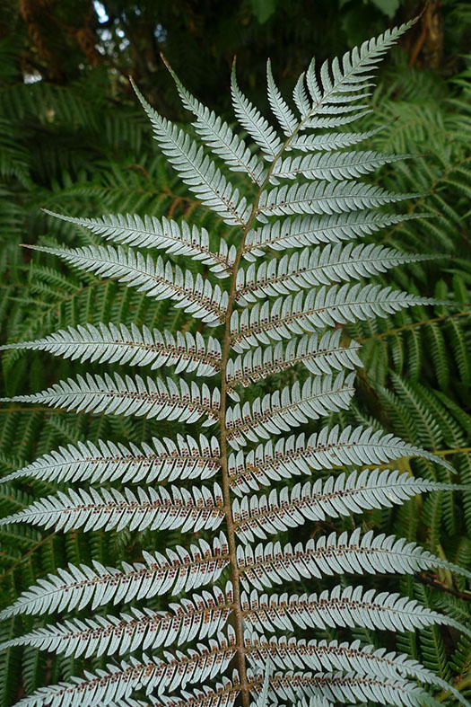 Close-up of the white underside of a silver fern