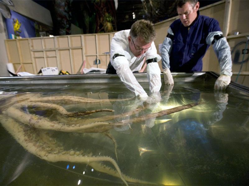 Scientists arranging the colossal squid in its display tank