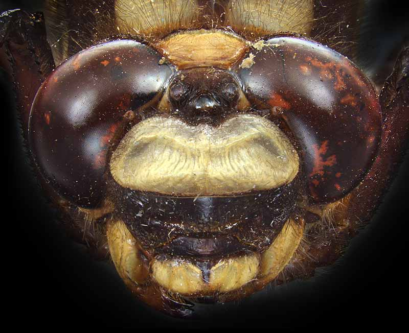 The eyes of the giant NZ bush dragonfly