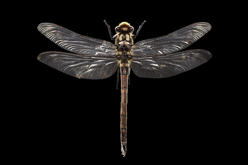 Giant NZ bush dragonfly
