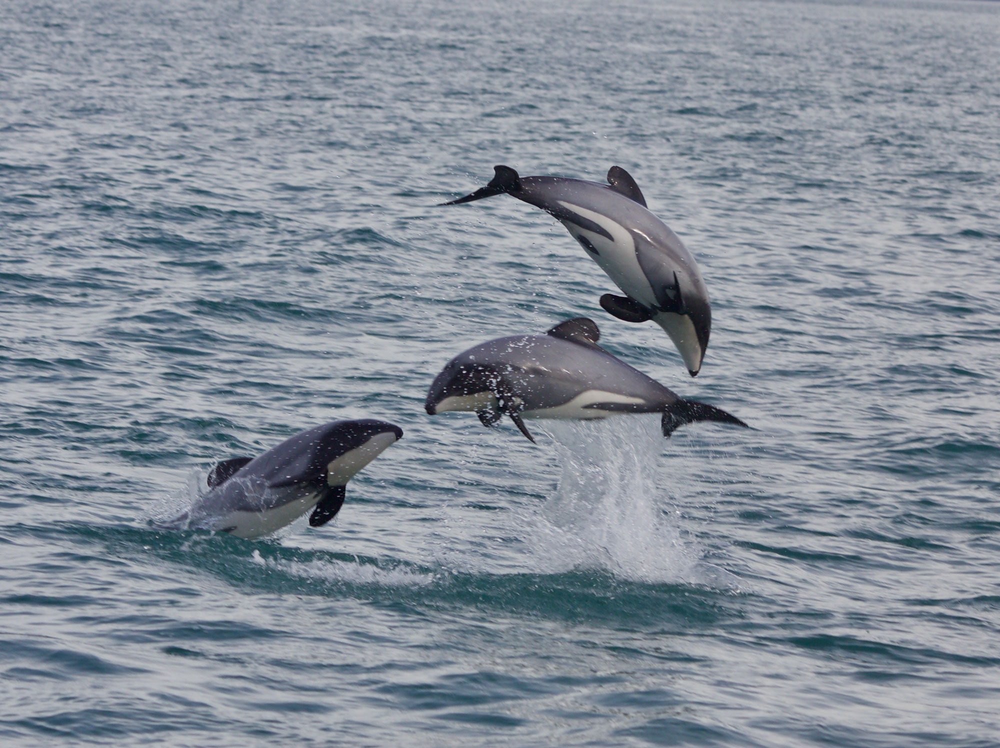 three dolphins leaping in the air