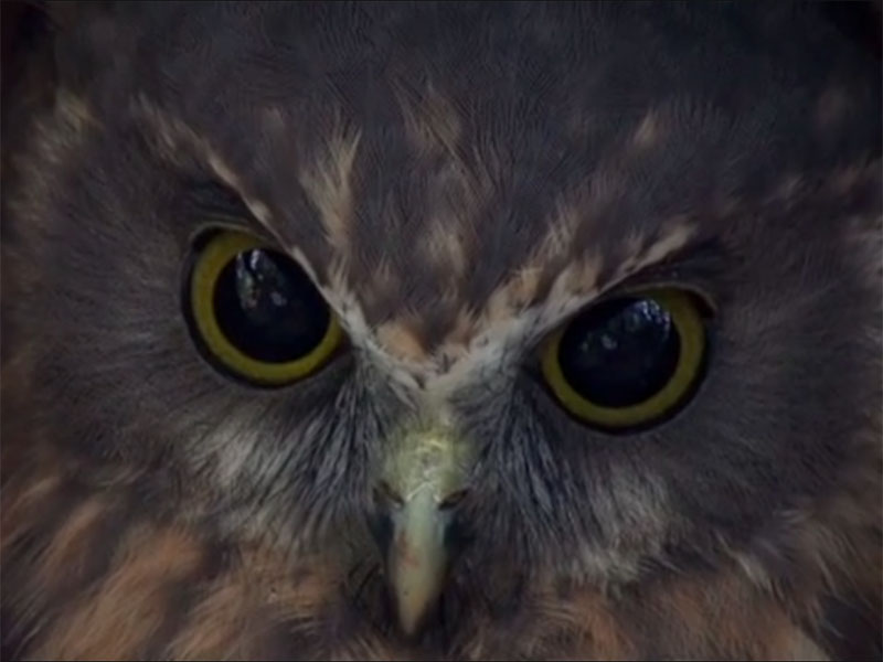 Close-up of the face of a ruru (owl)