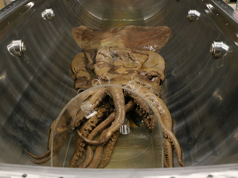 Colossal squid in its tank which has been drained of all liquid