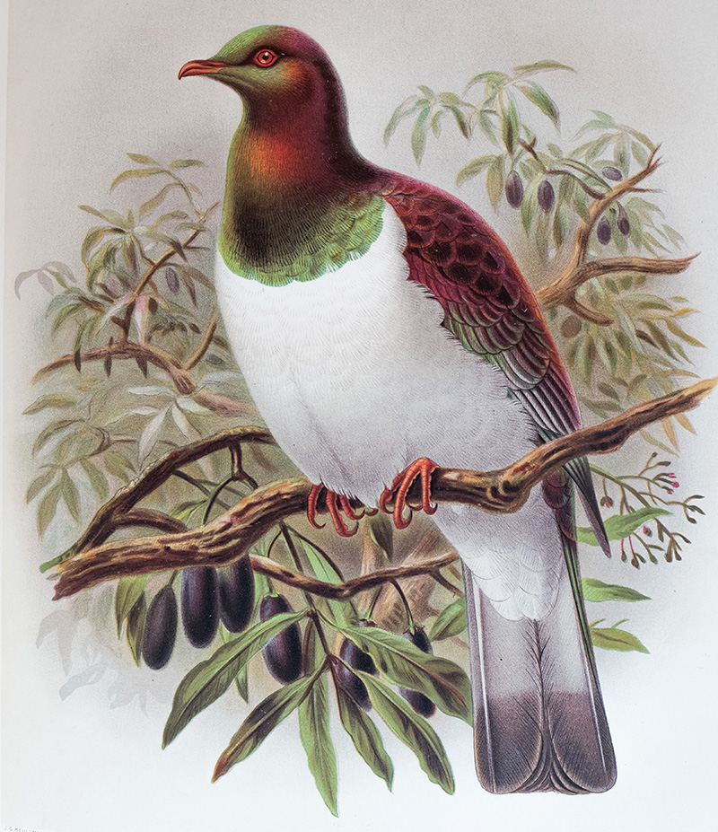 Watercolour painting of a kererū
