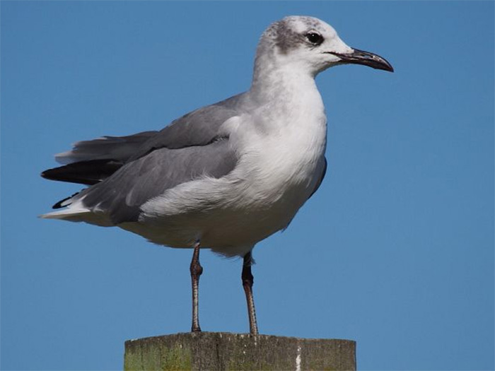 A laughing gull sat on a post