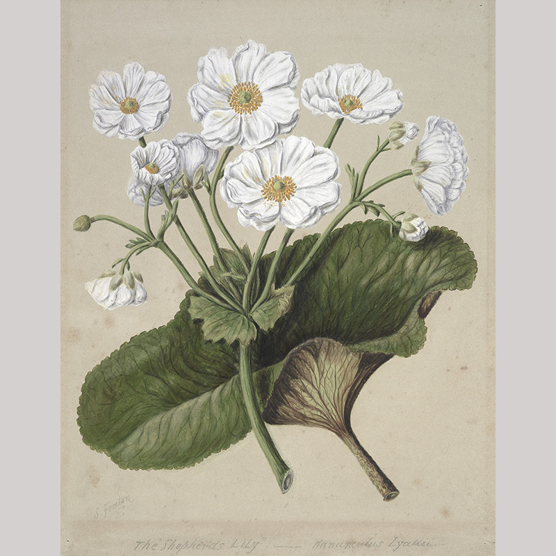 Painting of white flowers spreading out from a green stem