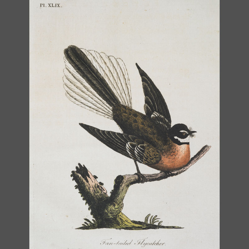 Etching of a fantail