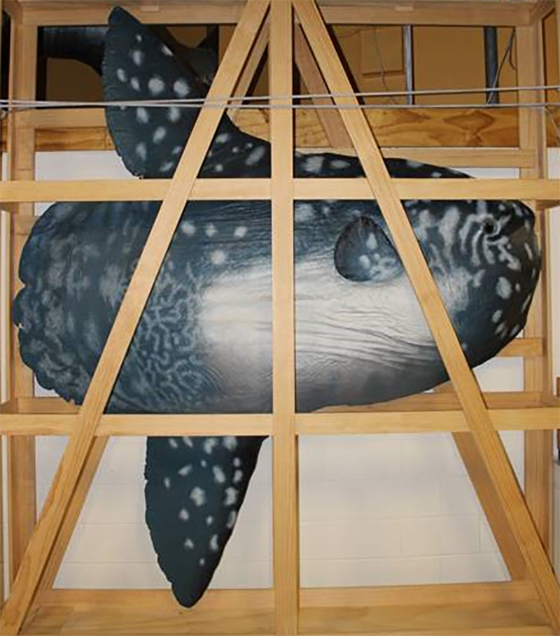 Cast of a Mola mola sunfish in a crate