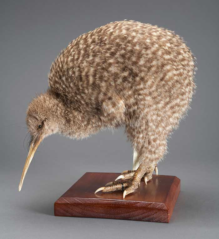 Great Spotted Kiwi, Apteryx haastii, collected 21 Jun 1979, Upper Stanley River, SW Takaka, New Zealand. Gift of New Zealand Wildlife Service, 1987. CC BY-NC-ND licence. Te Papa (OR.023042)