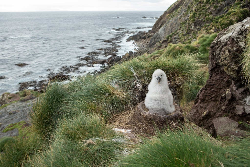 An albatross chick looks inquisitively at the camera