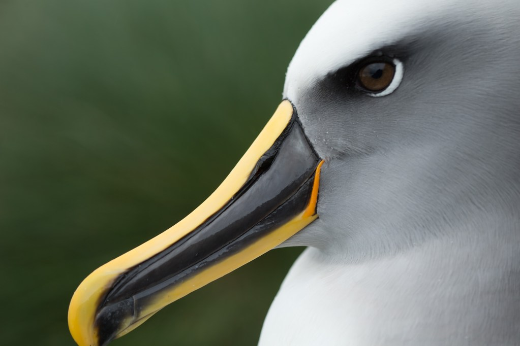 Close-up of a Buller's albatross
