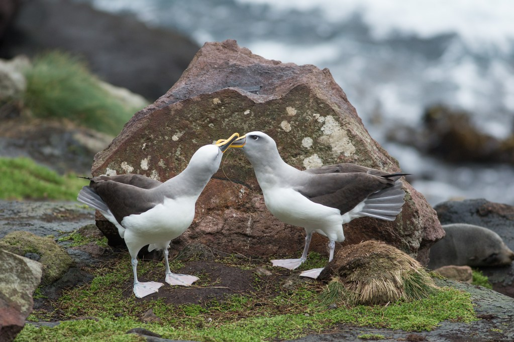 Two adult albatross perform a mating dance