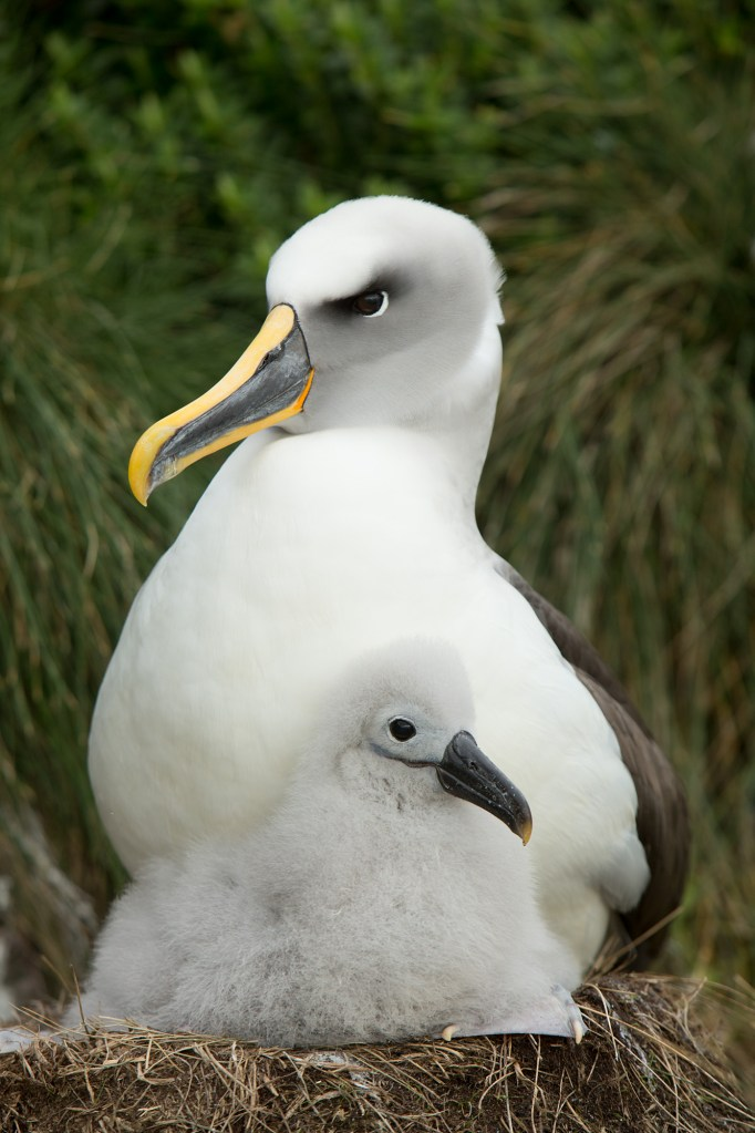 Adult albatross with chick