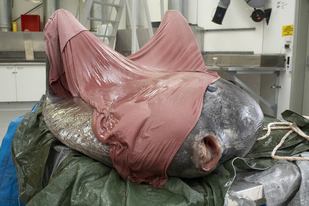 A dead sunfish lies on a table waiting to be dissected