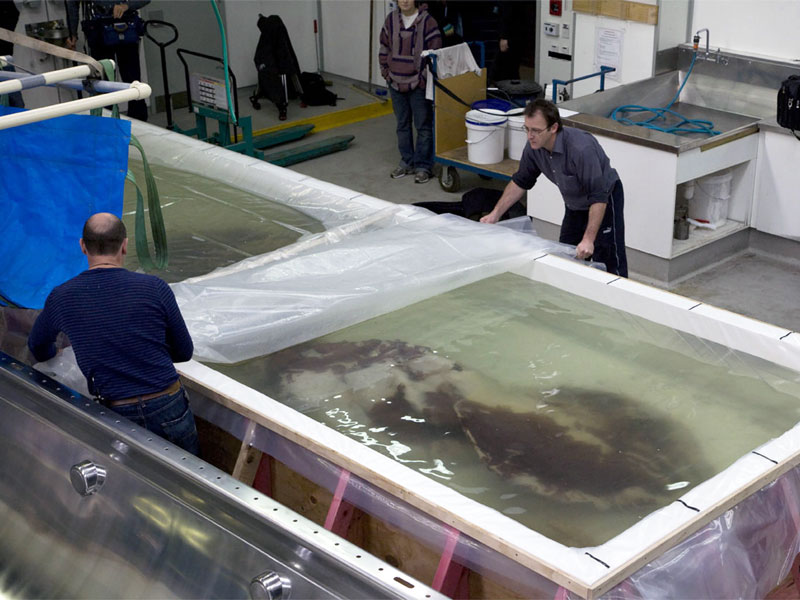 The colossal squid in its temporary tank