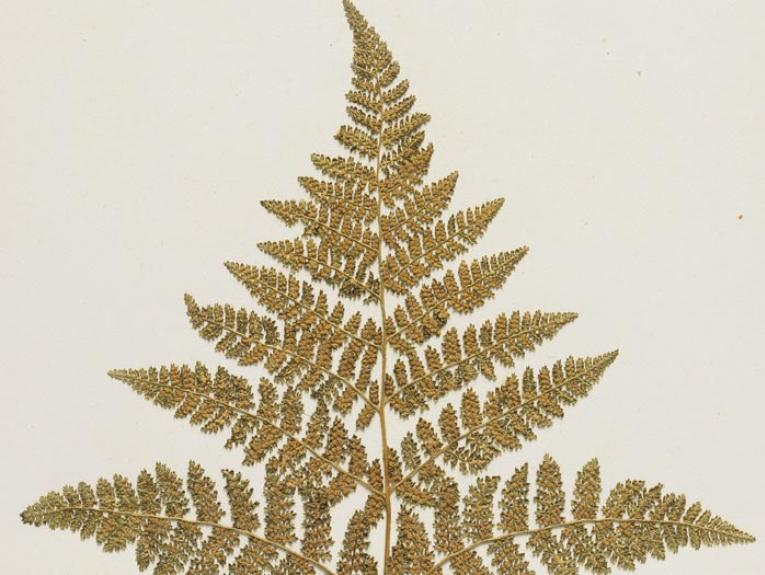 Thousand-leaved fern, Hypolepis millefolium Hook., collected 1888, New Zealand. Gift of The University of Western Ontario, Canada, 1967. Te Papa (P020070/J)