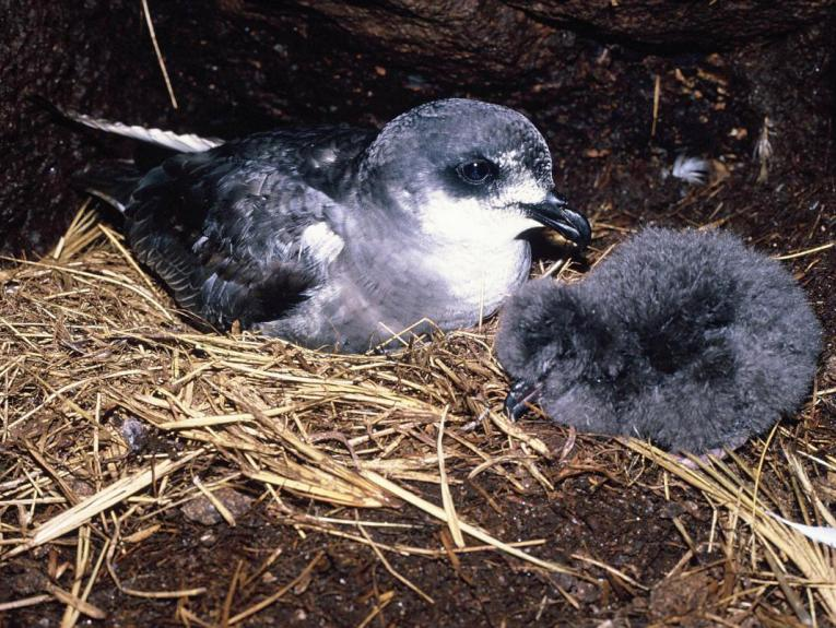 A grey and white bird with a grey fluffy chick in a nest