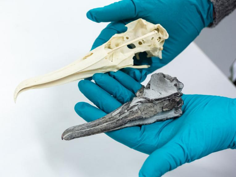 A fossil albatross skull next to a modern larger one