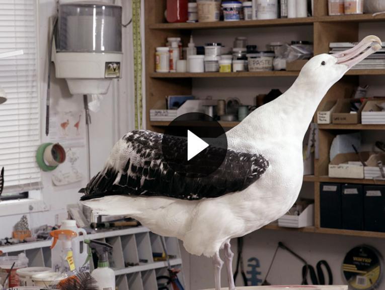 Taxidermy albatross in taxidermy studio