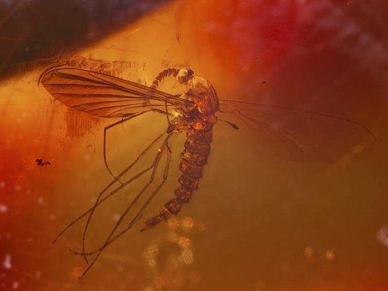 A photograph of a mosquito in amber