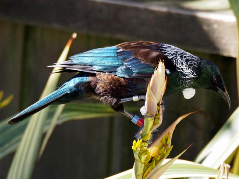 Banded tui. Photograph by and courtesy of Peter Reese.