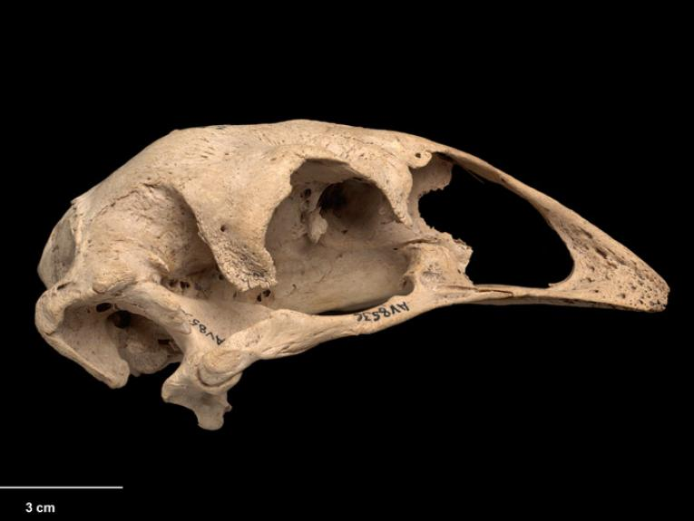 Eastern Moa, Emeus crassus, collected Pyramid Valley, New Zealand. CC BY-NC-ND licence. Te Papa (S.000470)