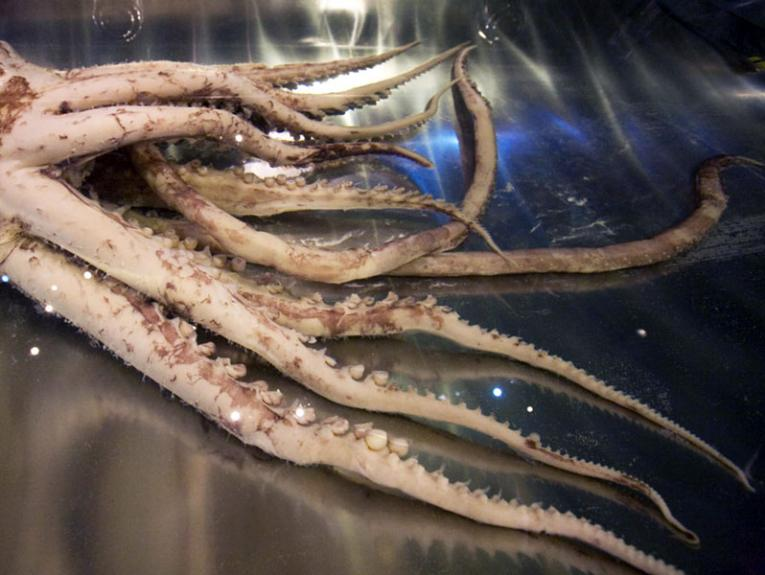 Colossal squid tentacles