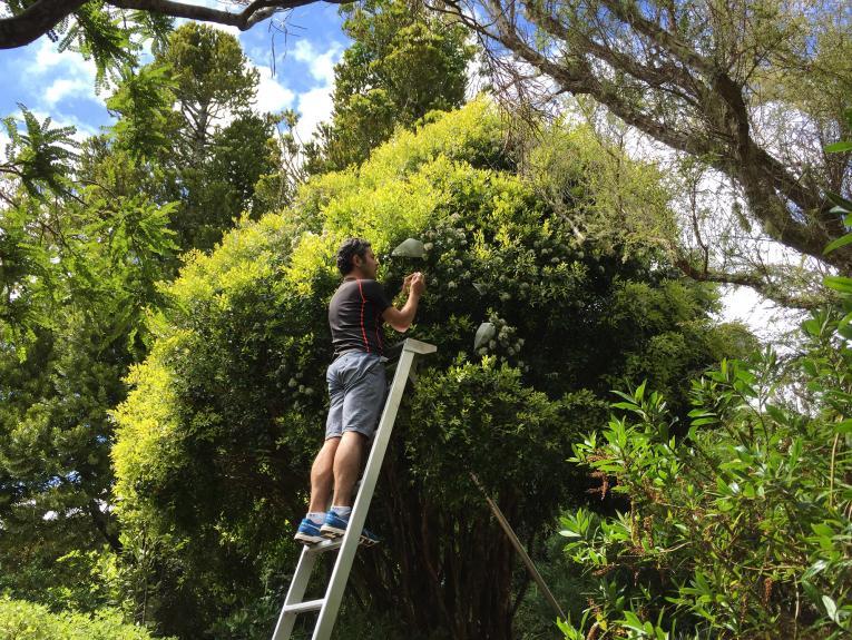 A man up a ladder picking something of a bushy tree