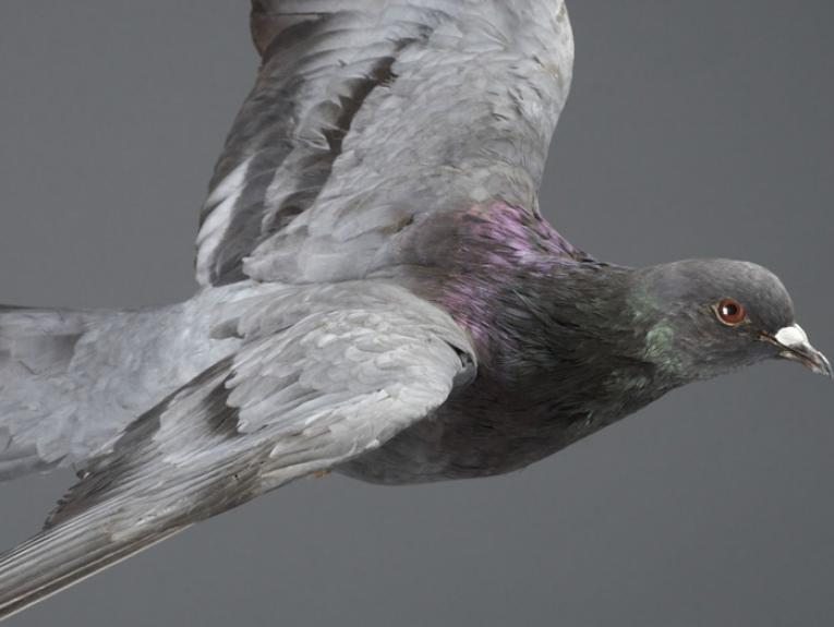 Rock Pigeon, Columba livia, collected Dec 2002, Wellington, New Zealand. Field collection 1978 - 2004. CC BY-NC-ND licence. Te Papa (OR.027072)