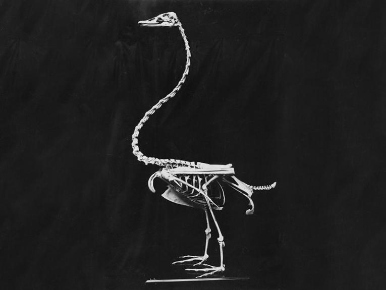 A bird skeleton on a black background