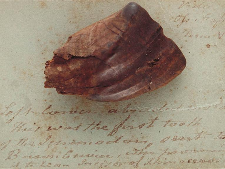 Fossil Iguanodon Tooth sitting on old stained paper with some writing on it