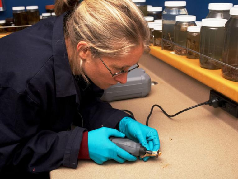 Lara Shepherd extracting Phar Lap's DNA, 2014. Photograph by Jean-Claude Stahl. Te Papa