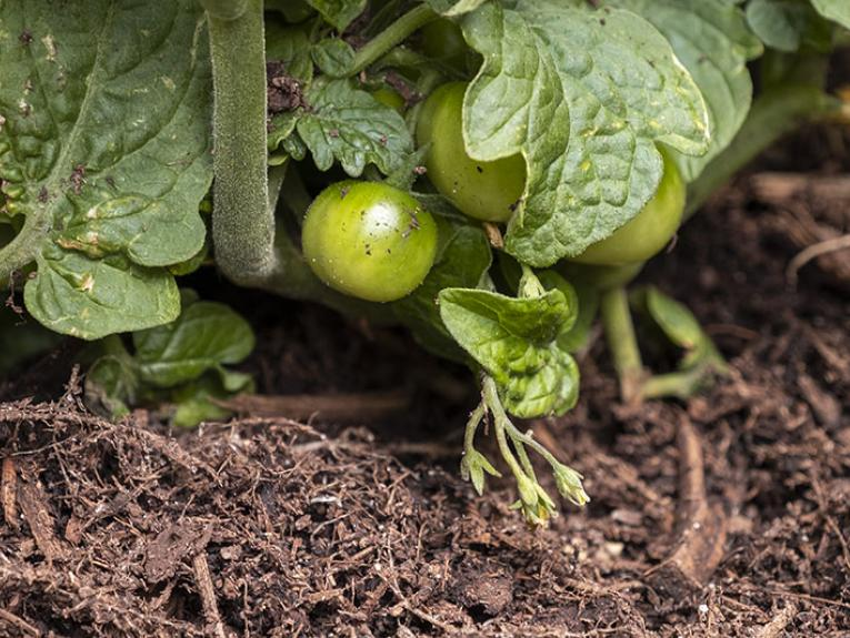 Close up of green tomatoes growing in a garden
