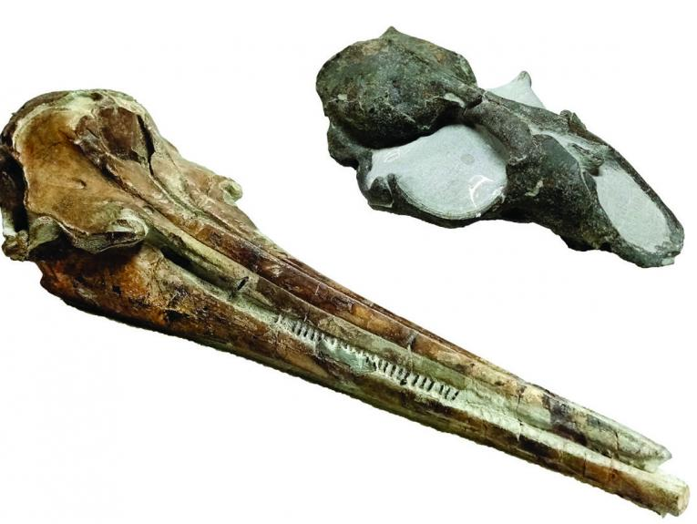 skull fossils of dolphin and a seal
