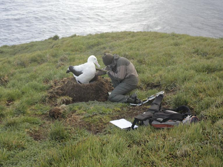 A fieldworker interacts with an albatross on the grass with the ocean in the background