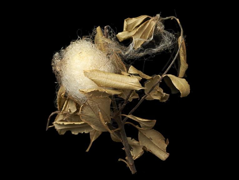 Golden orb-weaver's egg sac