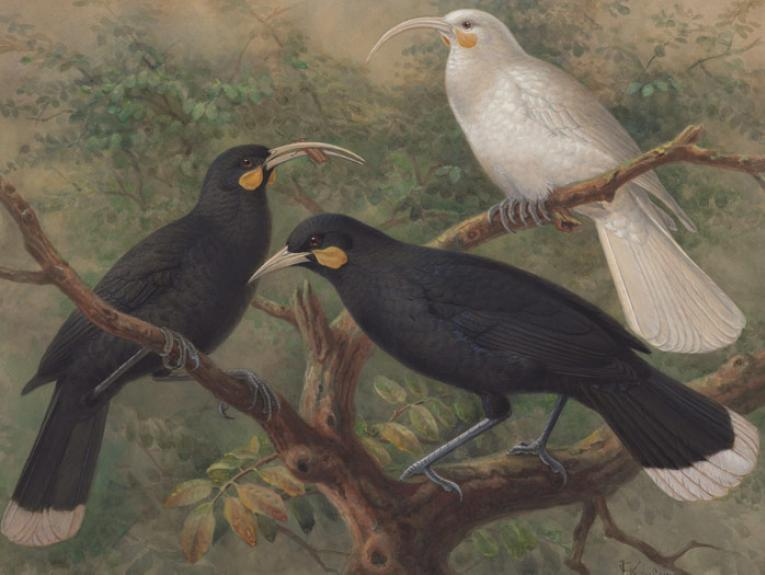 Three huia (Heteralocha acutirostris), circa 1900, London, by Johannes Keulemans. Purchased 1993 with New Zealand Lottery Grants Board funds. Te Papa (1993-0029-6)