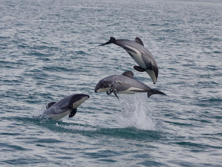 Three dolphins playing in the sea