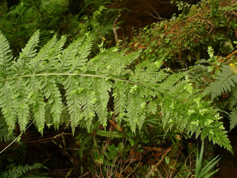 A long, green fern frond with bush in the background