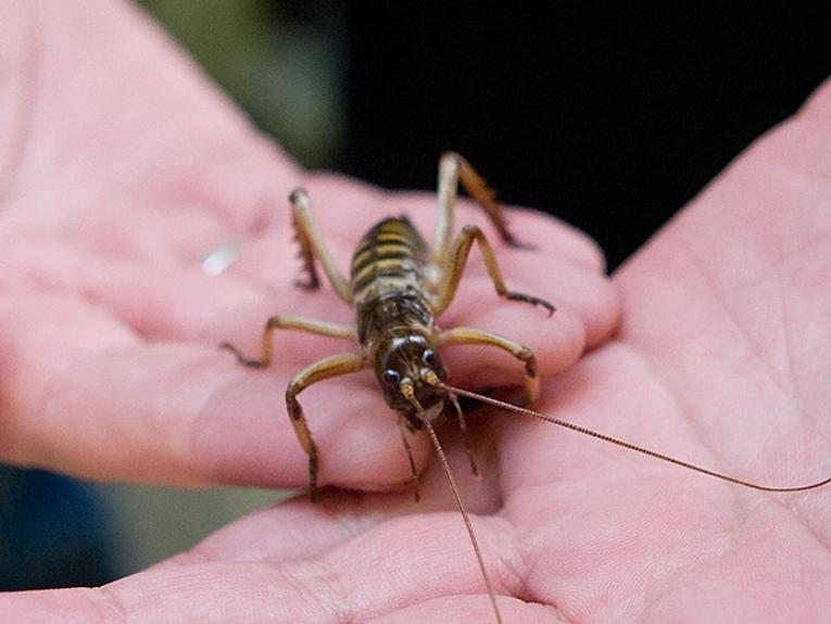 Person holding a weta insect