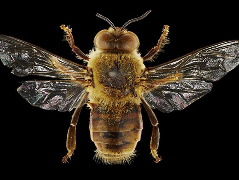 Honeybee drone.