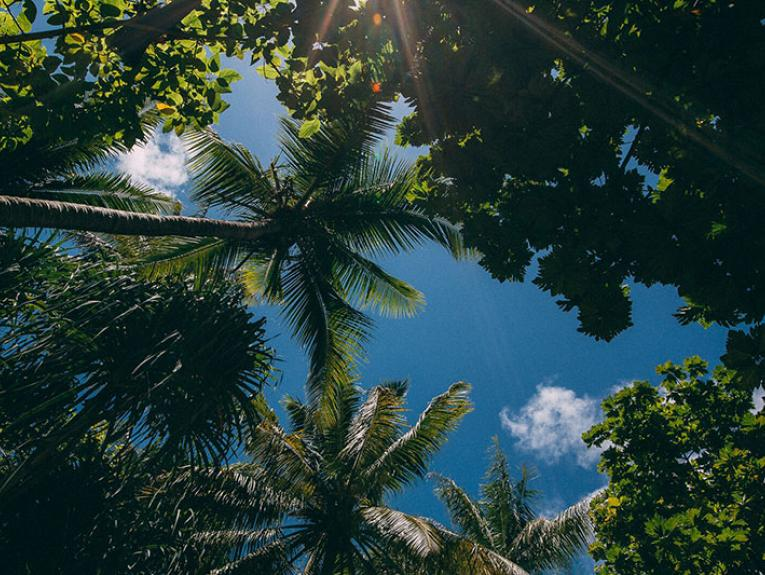 Skyward view of palm fronds