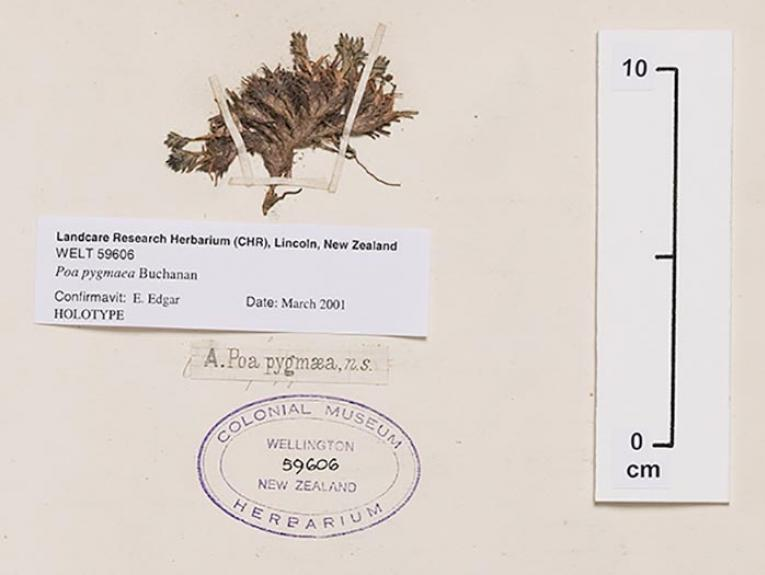 Herbarium sample identified by Buchanan