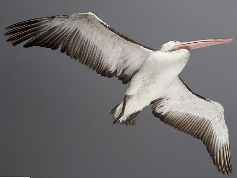 Australian pelican specimen